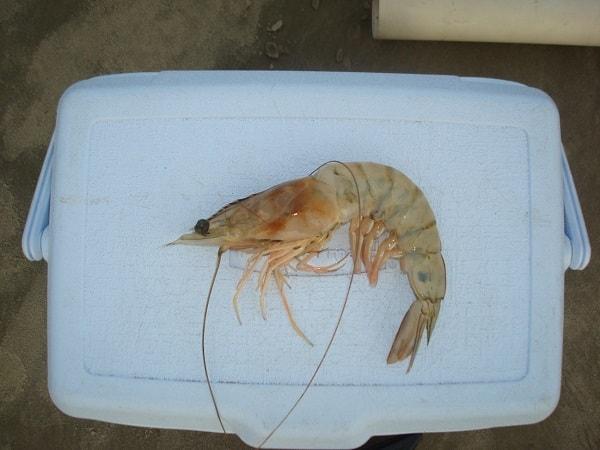camarao-pesca-praia