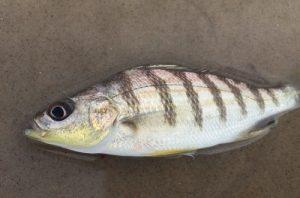 roncador-peixe