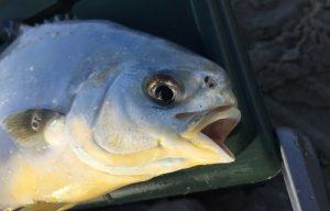 pampos-peixe