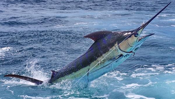 maior-marlim-azul-mundo